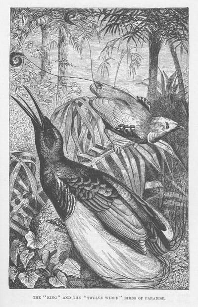 T. W. Wood - Birds of Paradise
