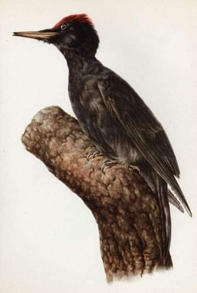 E. Martini - Black Woodpecker
