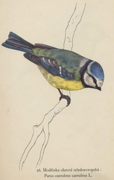 Karl Svolinsky - Blue Tit