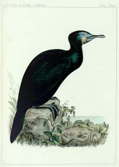 John Cassin - Brandts Cormorant