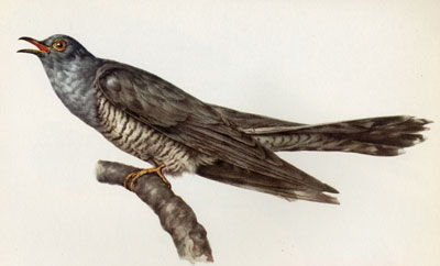 E. Martini - European Cuckoo