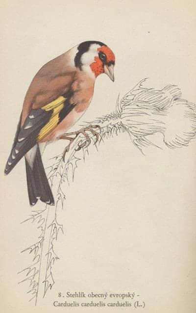 Karl Svolinsky - European Goldfinch