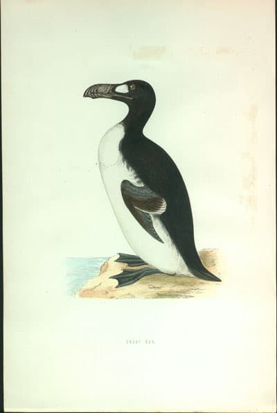 Anonymous - Great Auk
