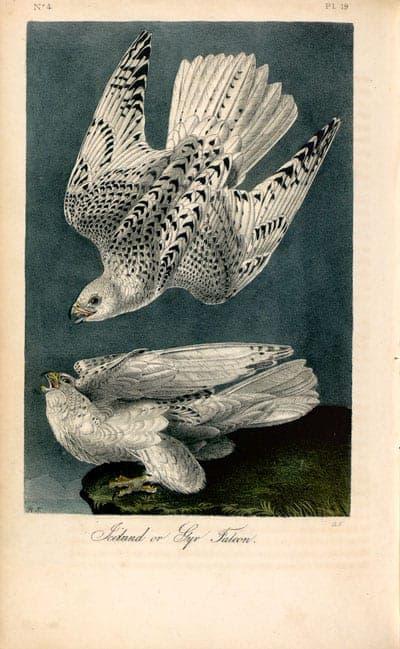 J. J. Audubon - Gyr Falcons