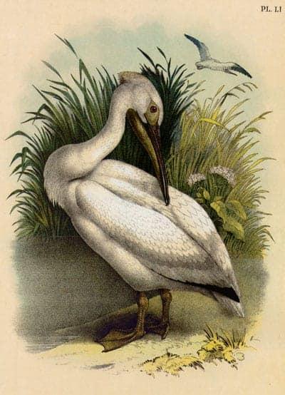 Theodore Jasper - Pelican