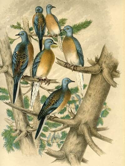 Anonymous - Passenger Pigeons