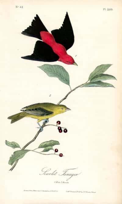 J. J. Audubon - Scarlet Tanager