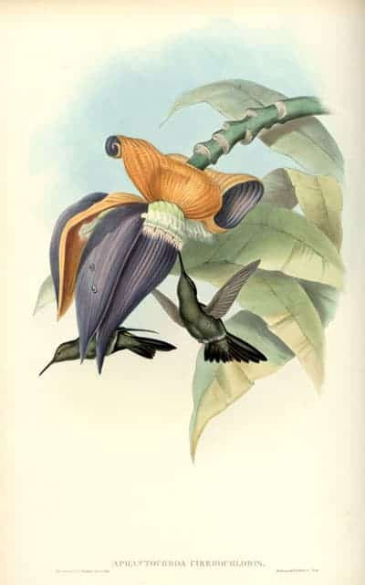 Henry Constantine Richter - Sombre Hummingbird
