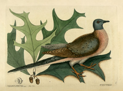 Mark Catesby - The Pigeon of Passage