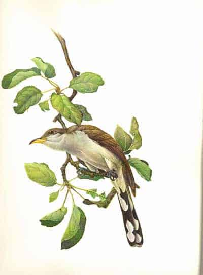 J. Fenwick Lansdowne - Yellow-billed Cuckoo