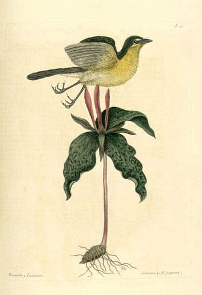 Mark Catesby - Yellow-breasted Chat