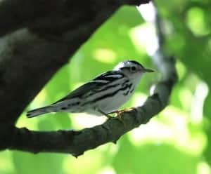 Black-and-white Warbler, by Sumiko Onishi
