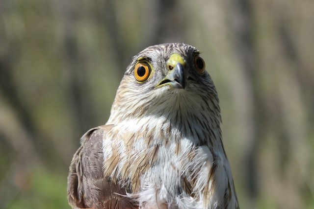 sharp shinned hawk SO 16