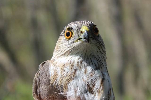 sharp shinned hawk SO 16