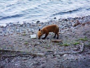 red_fox_SS_2014