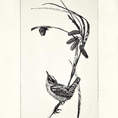 Marsh Wren by Michael Dumas