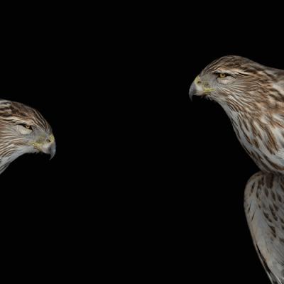 Cooper's Hawk VI by Deborah Samuel