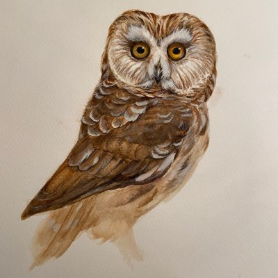 Saw-Whet Owl by Wallace Edwards